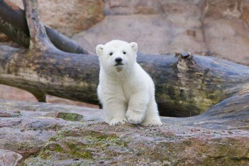 Lední medvídek Vločka