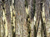Krušnohorské lesy poškozené zvěří