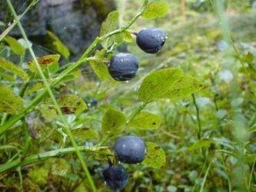 Borůvková sezóna začala, pozor na klíšťata.