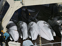 velryby 2