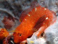 Slizoun zvonimirův větší obrázek autor wikimedia commons