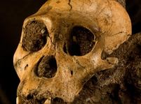 Australopithecus sediba - lebka