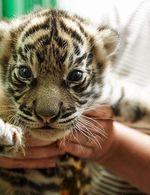 Zoo, tygr
