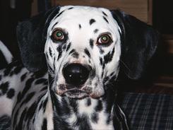 Test: Pozn�te ps� plemena podle fotek?