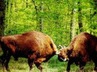 Zubr evropský v Bialowiežském pralese