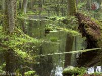 Bialowiežský prales